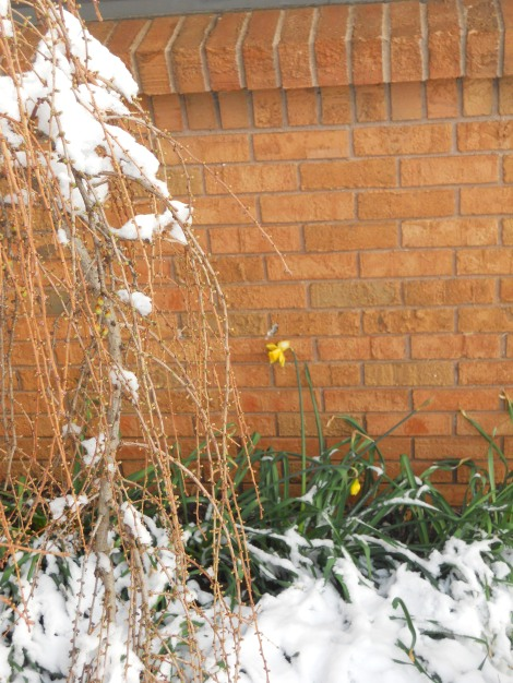 The death-defying daffodils