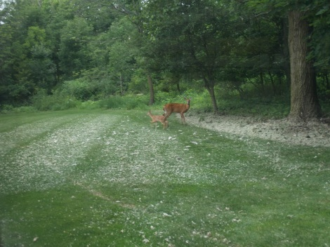 Doe with her frisky fawn.