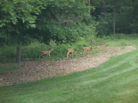 3 of the new 2015 fawns