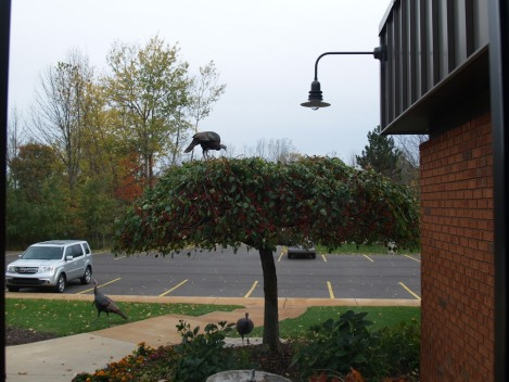 Wild turkeys eating the crab apples - a Fall favorite snack!