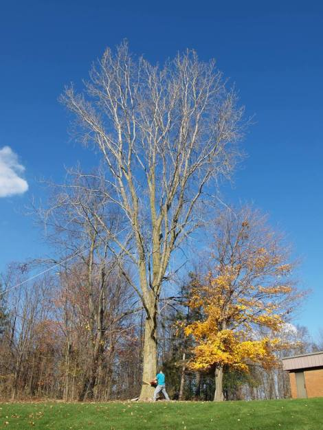 A mighty (but miserable!) cottonwood being prepped for its fall.