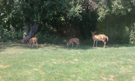 doe-fawns-summer-2016
