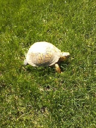 turtle along driveway