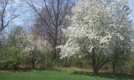 crab-apple-trees-back-april